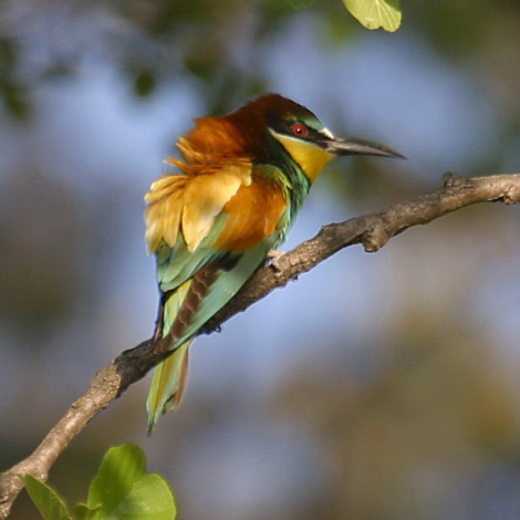European Bee-eater (Merops apiaster) | Birding and Bird Photography Tours in Hungary and Eastern Europe?v=1111