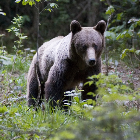 Brown Bear (Ursus arctos) | Birding and Bird Photography Tours in Hungary and Eastern Europe?v=1111