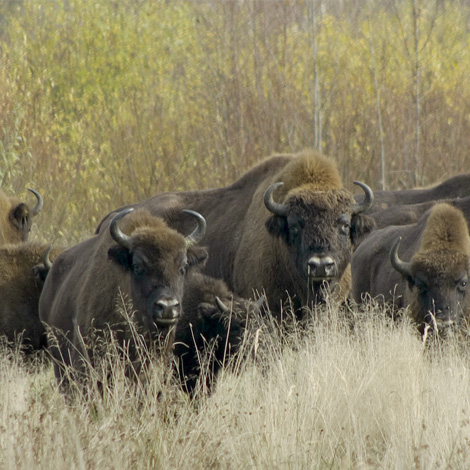 European Bison (Bison bonasus) | Birding and Bird Photography Tours in Hungary and Eastern Europe?v=1111