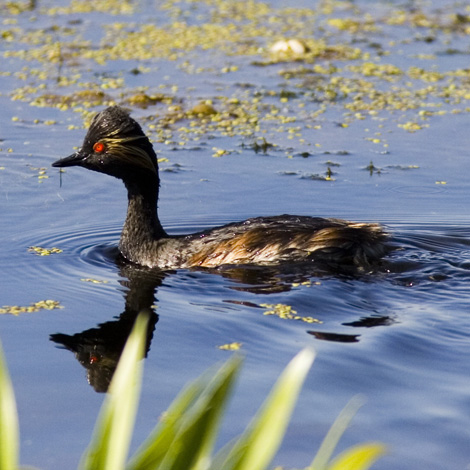 Black-necked Grebe (Podiceps nigricollis) | Birding and Bird Photography Tours in Hungary and Eastern Europe?v=1111