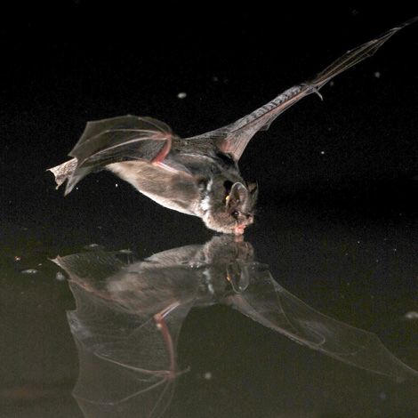 Drinking Bat | Birding and Bird Photography Tours in Hungary and Eastern Europe?v=1111