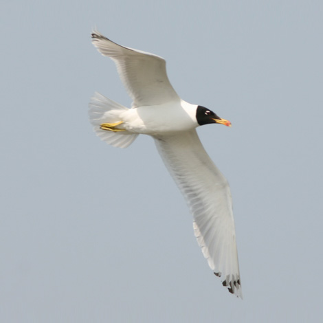 Pallas's Gull (Ichthyaetus ichthyaetus) | Birding and Bird Photography Tours in Hungary and Eastern Europe?v=1111