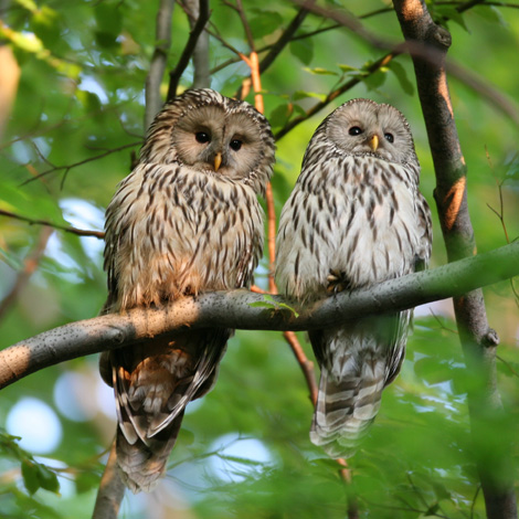 Ural Owl (Strix uralensis) | Birding and Bird Photography Tours in Hungary and Eastern Europe?v=1111