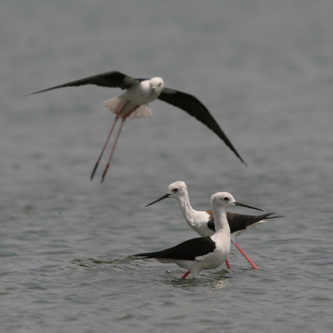 Black-winged Stilt (Himantopus himantopus) | Birding and Bird Photography Tours in Hungary and Eastern Europe?v=1111