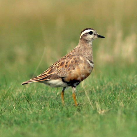 Eurasian Dotterel (Eudromias morinellus) | Birding and Bird Photography Tours in Hungary and Eastern Europe?v=1111