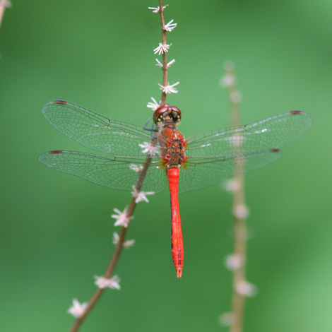 Ruddy Darter (Sympetrum sanguineum) | Birding and Bird Photography Tours in Hungary and Eastern Europe?v=1111