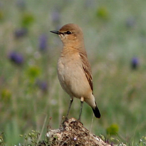 Isabelline Wheatear (Oenanthe isabellina) | Birding and Bird Photography Tours in Hungary and Eastern Europe?v=1111