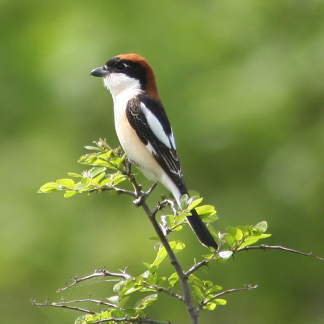 Woodchat Shrike (Lanius senator) | Birding and Bird Photography Tours in Hungary and Eastern Europe?v=1111