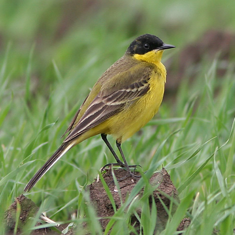 Black-headed Wagtail (Motacilla flava feldegg) | Birding and Bird Photography Tours in Hungary and Eastern Europe?v=1111