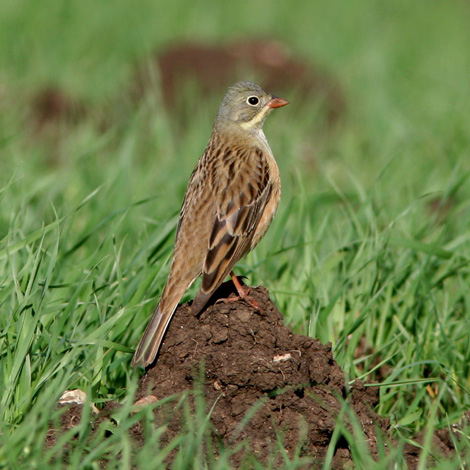 Ortolan Bunting (Emberiza hortulana) | Birding and Bird Photography Tours in Hungary and Eastern Europe?v=1111