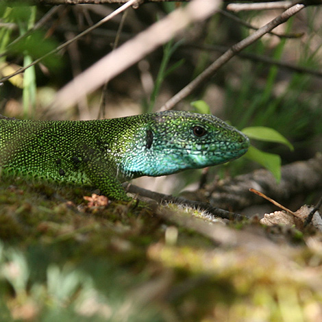 European Green Lizard (Lacerta viridis) | Birding and Bird Photography Tours in Hungary and Eastern Europe?v=1111