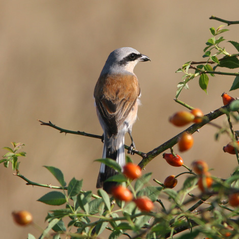 Red-backed Shrike (Lanius collurio) | Birding and Bird Photography Tours in Hungary and Eastern Europe?v=1111