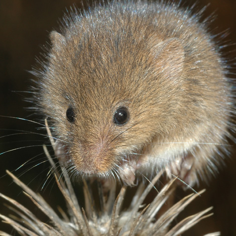 Harvest Mouse (Micromys minutus) | Birding and Bird Photography Tours in Hungary and Eastern Europe?v=1111