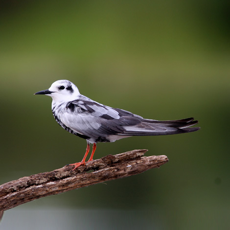 White-winged Tern (Chlidonias leucopterus) | Birding and Bird Photography Tours in Hungary and Eastern Europe?v=1111