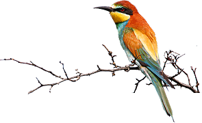 bird photography and birding tours Hungary and Eastern Europe - Bee-eater on a branch