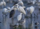 Grey Heron (Ardea cinerea) among Great Egrets (Ardea alba) by Molnar Peter | Bird photography tou