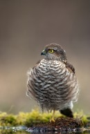 Eurasian Sparrowhawk (Accipiter nisus)| Bird photography tours Hungary