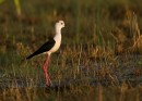 Black-winged Stilt (Himantopus himantopus)| Bird photography tou