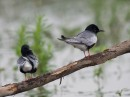 White-winged Black Tern (Chlidonias leucopterus)| Bird photography tou