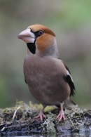 Hawfinch (Coccothraustes coccothraustes) taken by Ray Tipper during the bird photography tour inwinter