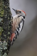 Middle Spotted Woodpecker (Dendrocopos medius) by the bird photo hide during our winter tour