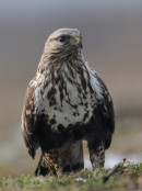 Rough-legged Buzzard (Buteo lagopus) taken by Ray Tipper during our bird photography tour by the raptor feeding station
