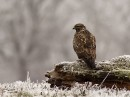 Common Buzzard (Buteo Buteo) taken during the bird photography tour in winter