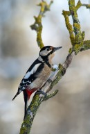 Great Spotted Woodpecker (Dendrocopos major) taken during the bird photography holiday in winter