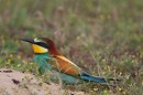 Bee-eater (Merops apiaster) by one of our mobile bird photo hides