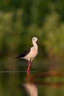 Black-winged Stilt at the waterside photography hide by Mark Curley