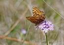 Fritillary butterfly by John Oates | Birding tours Mongolia