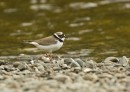 Little Ringed Plover (Charadrius dubius) by John Oates | Birding tours Mongolia