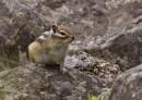 Siberian Chipmunk Eutamias sibiricus by John Oates | Birding tours Mongolia