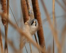 Bearded Reedling (Panurus biarmicus) looks daggers  - taken during the bird photography tour in winter