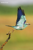 Taken during our bird photography tour by Mike Read European Roller