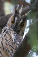 Long-eared Owl (Asio otus) watching at the bird photographer during our tour