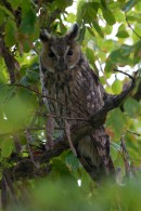 Long-eared Owl - Asio otus | Biding tour Hungary Autumn