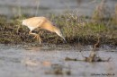 Squacco Heron (Ardeola ralloides) on our bird photography tour