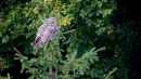 Ural Owl (Strix uralensis) | Biding tour Hungary Autumn