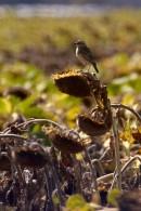 Whinchat (Saxicola rubetra) | Biding tour Hungary Autumn