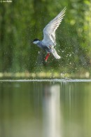 Bird photography tours: Whiskebird photography hide Whiskered tern and water droplets by Ian Butler