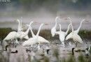 Bird photography hide White Egrets by Molnar Peter