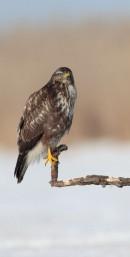 Common Buzzard (Buteo buteo) by Michael Linehan | Bird photography tours Hungary