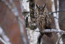 Long-eared Owl  (Asio otus) | Bird photography tours Hungary, Eastern Europe