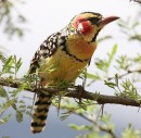 Red-and-yellow Barbet (Trachyphonus erythrocephalus) | Birding tours Ethiopia Africa