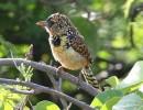 D\'Arnaud\'s Barbet (Trachyphonus darnaudii) | Birding tours Ethiopia Africa