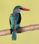 Woodland Kingfisher (Halcyon senegalensis)|  Birding tours Ethiopia Africa