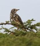 Groundscraper Thrush (Psophocichla litsitsirupa) | Birding tours Ethiopia Africa