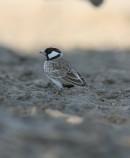 Chestnut-headed Sparrow-Lark (Eremopterix signatus) | Birding tours Ethiopia Africa