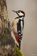 Woddpecker| Bird photography tours Hungary, Eastern Europe